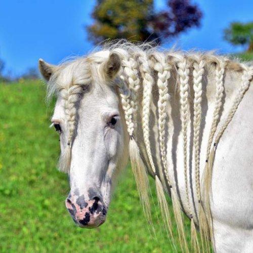 Pferd bei Reiturlaub in Kärnten Pension Gerlitzen Arriach Pilsachhof